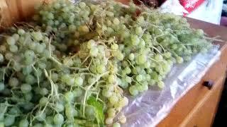 VID 20190922 080959  Урожай винограда и поздних яблок