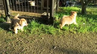 外に出られるようになったと思ったら楽しそうに遊ぶ山陰柴犬子犬3兄妹...