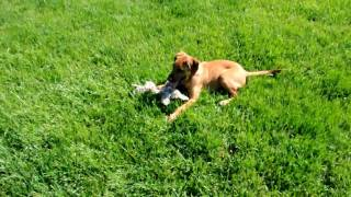 Rescue Pup - Adopted! Rudy, 15wk Old Redbone Hound - Boxer Mix?