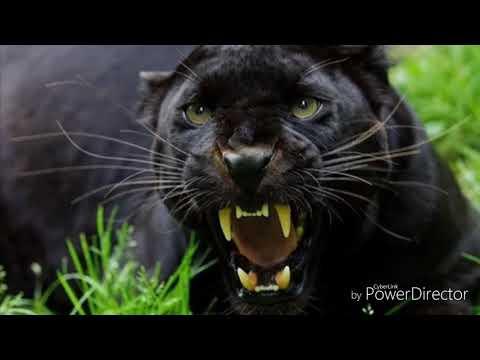 Пантера чёрная че че че чёрная