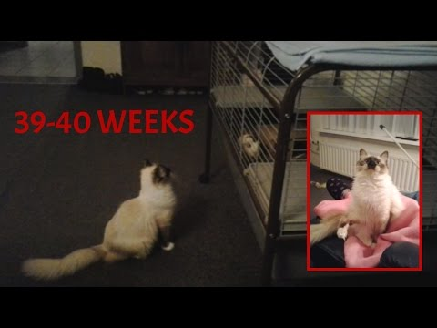 Female Ragdoll Lilah 39 and 40 weeks old (500 subscribers!)