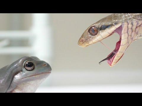 カエルに本物のヘビを見せた結果…衝撃の事実が発覚!