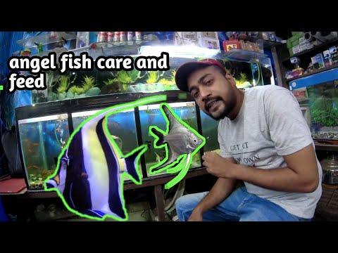 Angel Fish Care! Fish Khana Nahi Khati Fir Mar Jati Hahi Kese Rakhe