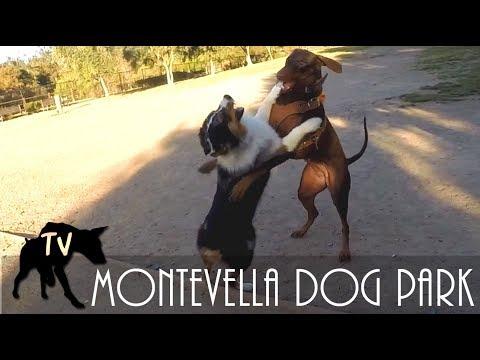 Australian Shepherd vs Doberman | Dog Park Vlogs