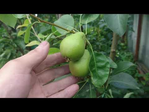 Плоды на прививках груши