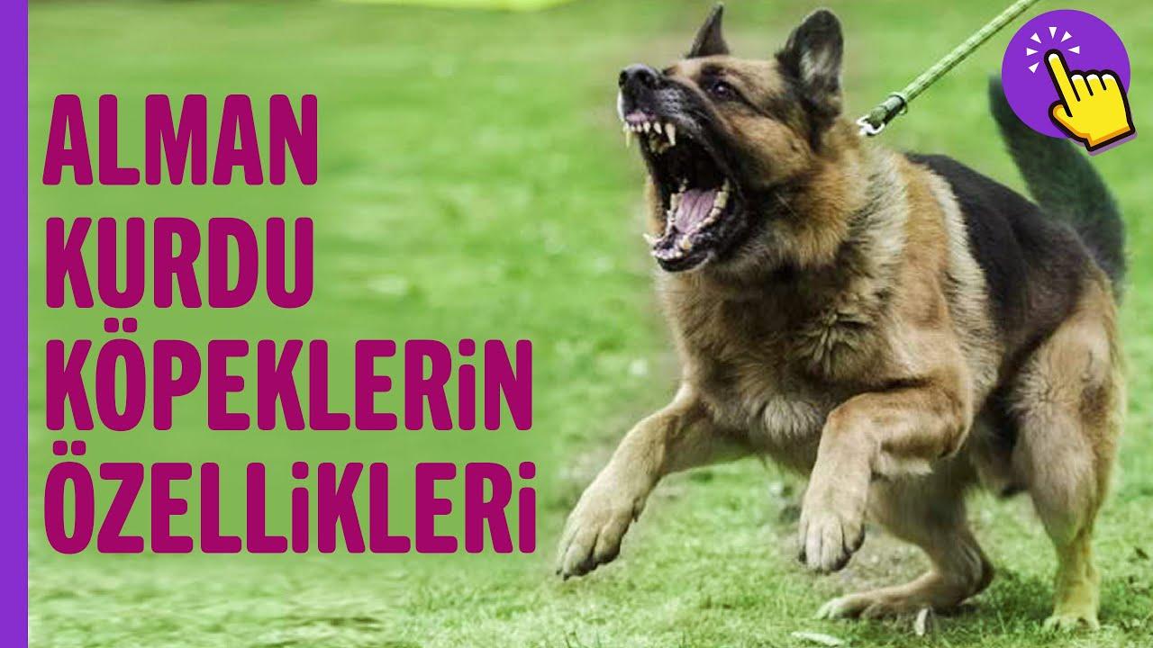 Alman Kurdu köpekler hakkında hiç duymadıklarınız! | Hayvanlar Alemi  İlginç bilgiler |Aklında olsun
