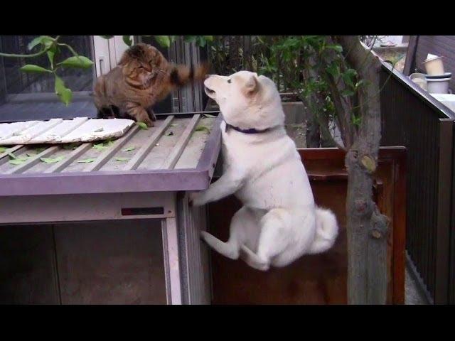 柴犬がジャンプ!そこに猫パンチがさく裂!?