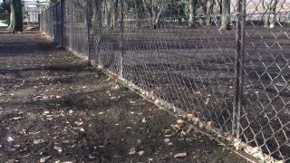 小金井公園のドッグランで競走する、ウィペットのモヒートとテキーラ。 ...