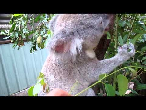 Day 8 Koalaing for Ellen Masters in Koalaing