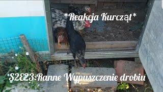 S2E23: Ranne wypuszczenie drobiu: REAKCJA kurczaków na pierwszy raz na wybiegu