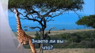 Самое высокое кровяное давление – у жирафа