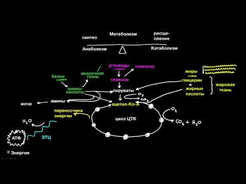 Метаболизм (1 часть из 4)| Рост и обмен веществ | Медицина