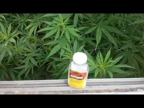 Salicylic Acid use in Cannabis