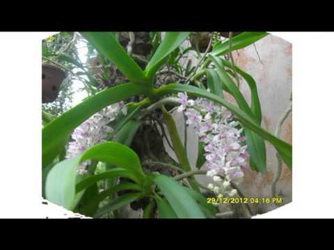 Phong lan rung Viet Nam - Viet Nam Orchid - Hà Nam 2013