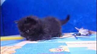 Продам котенка экзота черный экзот