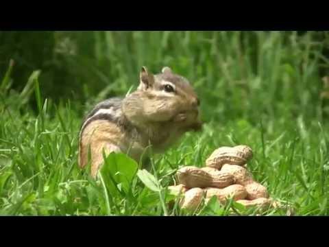 Chipmunks Eating Peanuts