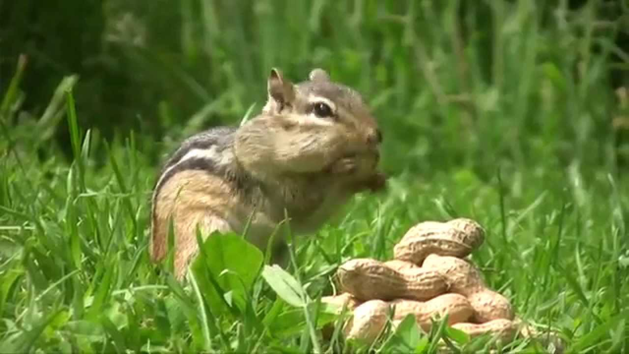how to stop chipmunks from eating plants
