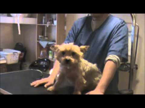 Grooming An Aggressive Yorkie Yorkshire Terrier Part 1 Youtube