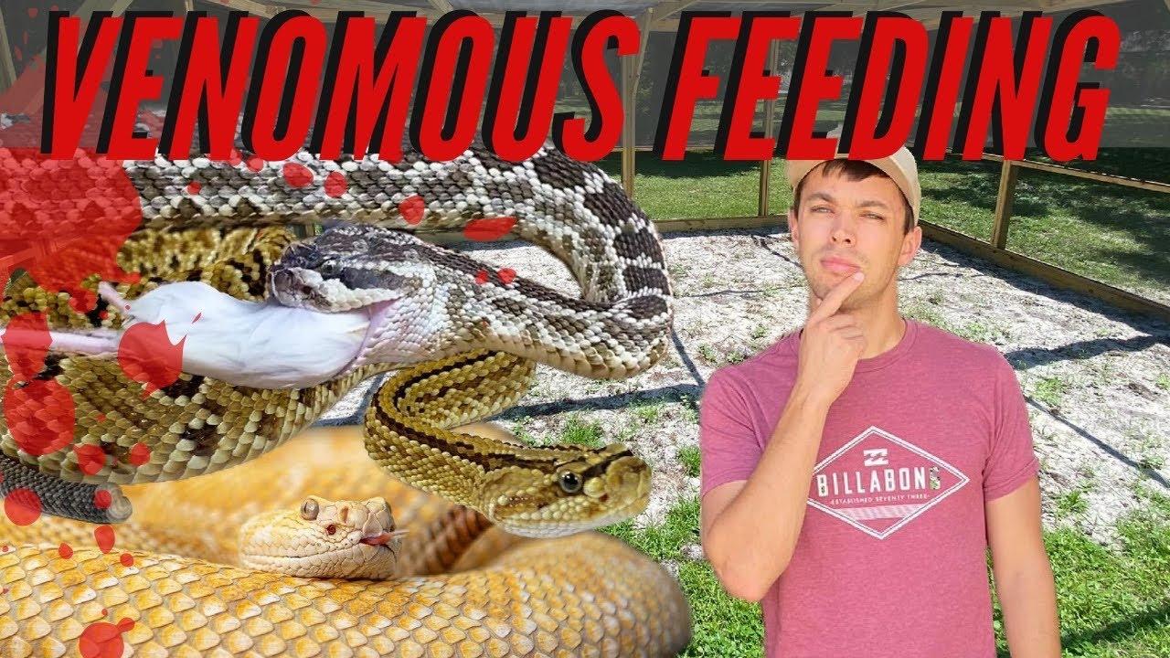 Venomous Snake Feeding!