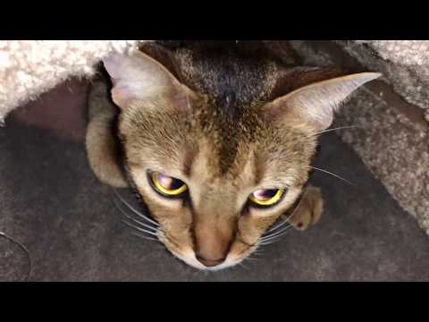 iPhone X video camera test with an Abyssinian cat as the subject