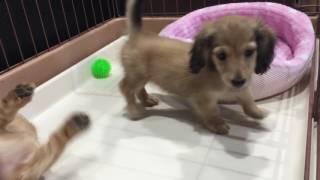 http://www.petsfan.com/ 2016年4月11日生まれ・ミニチュアダックスフン...