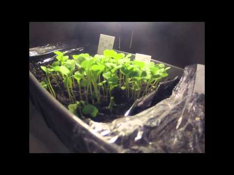 Rocket Seed Sprouting Timelapse