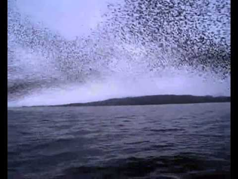 Video  A Murmuration of Starlings   Alexis Madrigal   Technology   The Atlantic