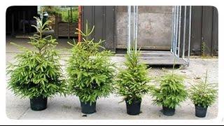 Как вырастить елку из семян (видео 2).Гульмира Сынбулатова