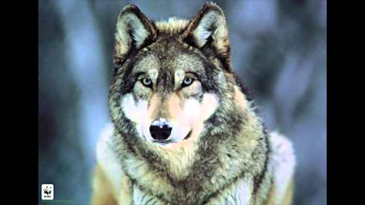 hurlement de loup gratuit