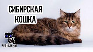 Сибирская кошка  -  русская красавица / Интересные факты о кошках