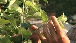 Формирование побега(Формирование деревьев, плодовых, либо любых деревьев в вашем саду - важный процесс! Не менее важно выполнить..., 2012-08-27T18:39:05.000Z)
