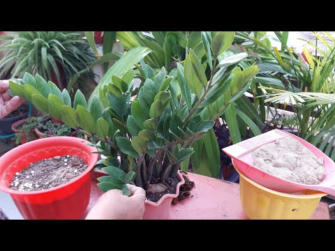 How to Divide Zz Plant || How to Divide Root Bound Zz / Zamia Plant