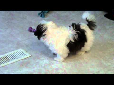 4 month old shih tzu shih tzu puppy at 4 months old youtube 5399