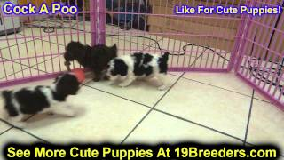 Cock A Poo, Puppies, For, Sale, In, Kansas City, Missouri, Mo, Ballwin, Wentzville, University City,
