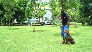 Obedience Dog Training Miami Doberman Gang. K9 Enforcement