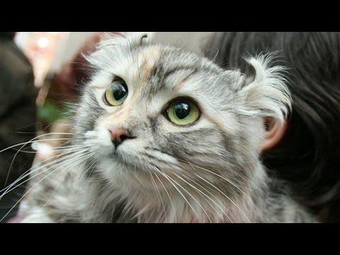 рыжий короткошерстный американский кот фото