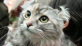 Уход за Американским Керлом, Породы кошек