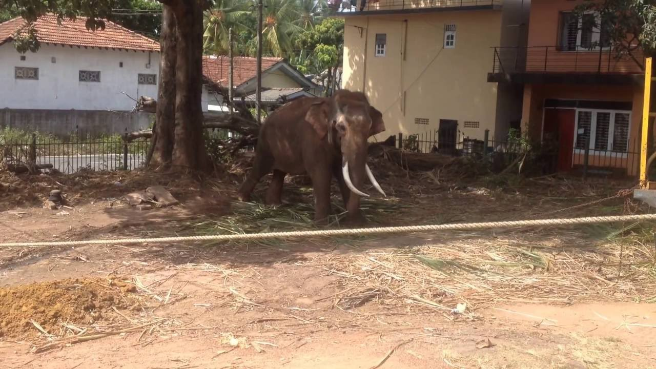 What Do Asian Elephants Eat For Live - Youtube-1556