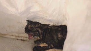 【あれから1年】高速道路のネットにいた子猫。立派なべっこう猫になりました。
