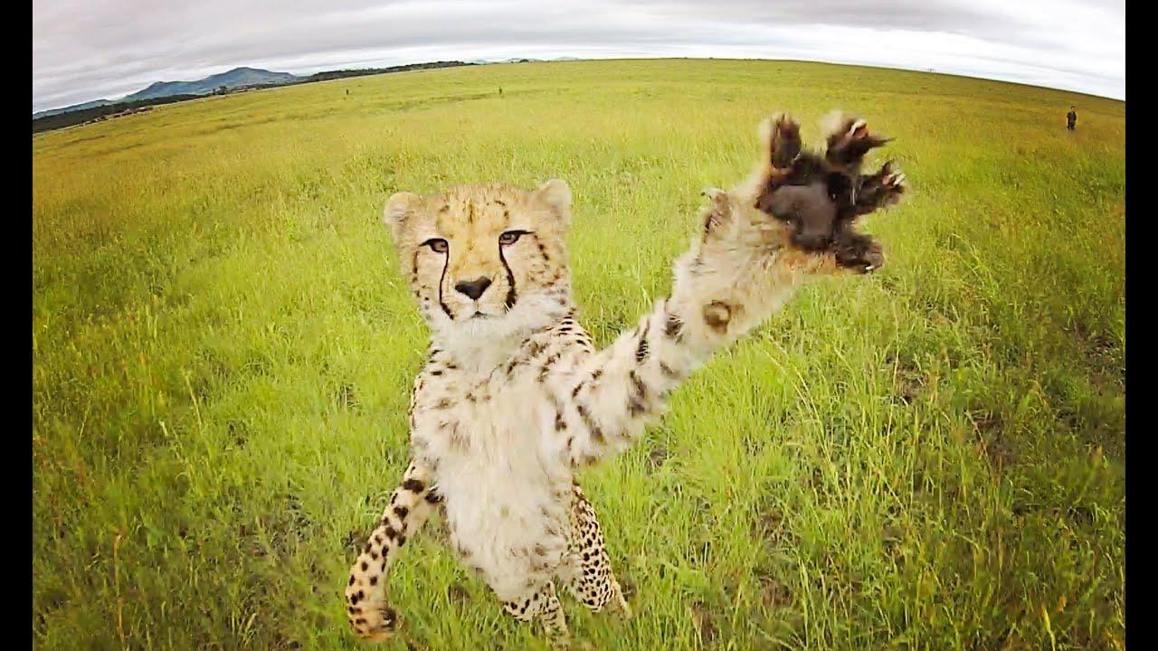 Cheetah Vs Drone South Africa