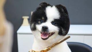 Joy's Second Beautiful Grooming / Pomeranian