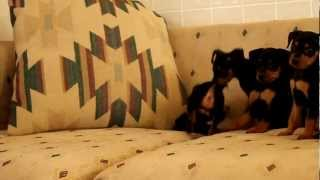Miniature Pinscher Puppies - Www.greenfieldpuppies.com