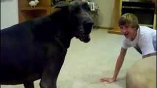 Un pusti se joacă prin casă cu câinele sau, care este mai mare decât un viţel