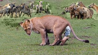 Lions baby was born in Hyenas territory! Hyenas attack Lion cubs After Mother Lion Giving Birth