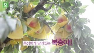 G마켓 추석선물 신선식품 '햇사레 복숭아'…