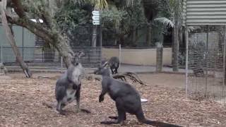 Kangaroo Wallaby Fighting