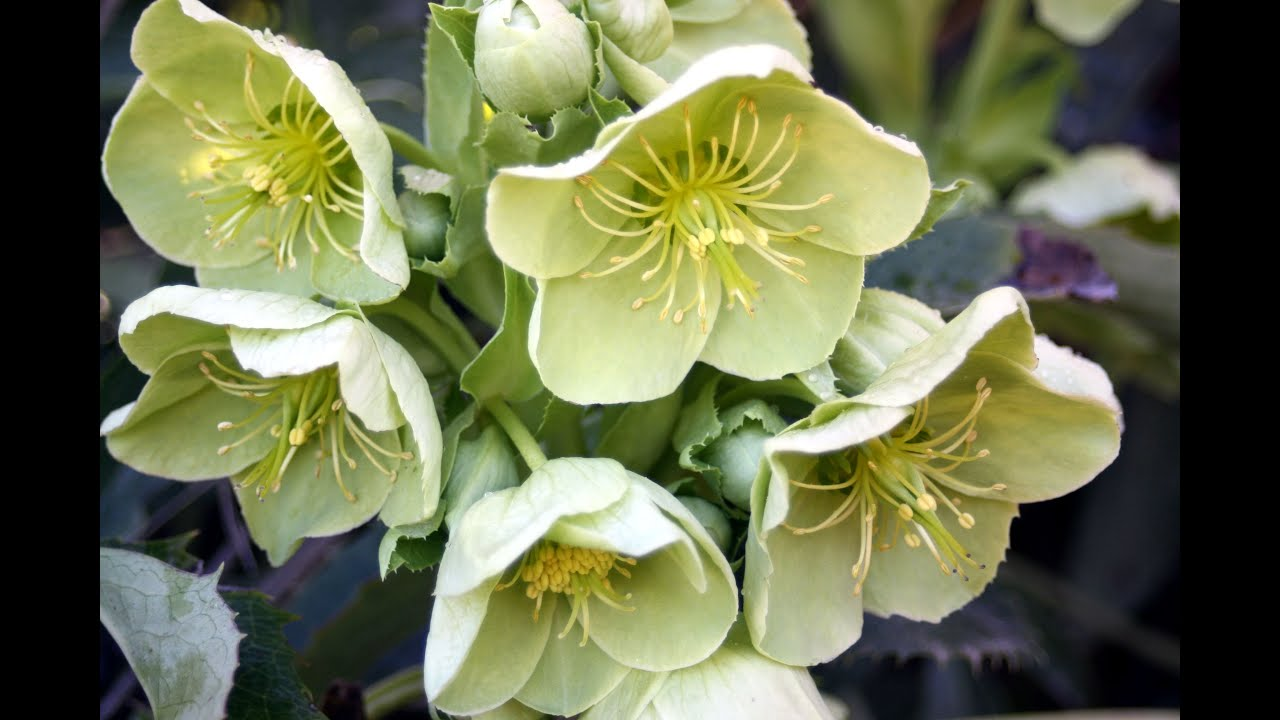 How To Grow Hellebores Youtube