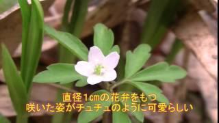 山野草図鑑/ヒメイチゲ