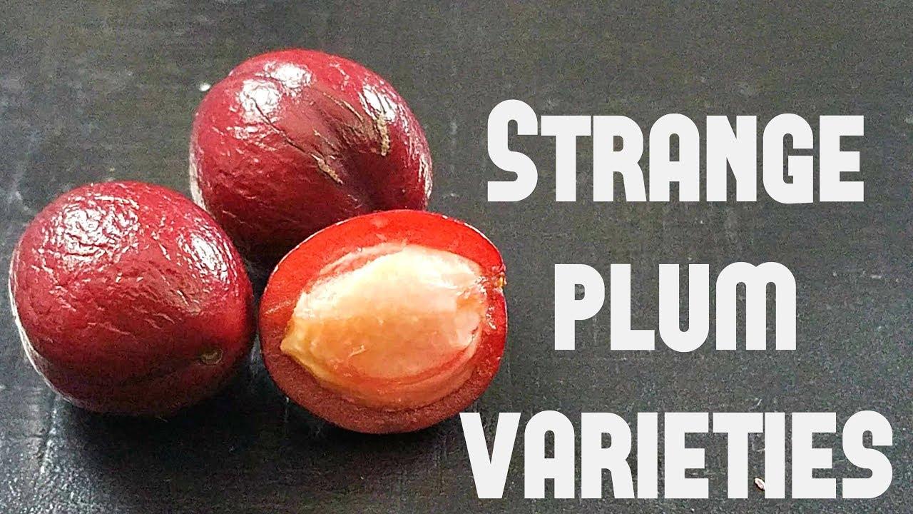 Weird Plums! Comparing two rare varieties (Mexican plum & Purple leaf plum)  Weird Fruit Explorer 285