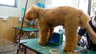 アタッチメントバリカンを使ったプードルの後ろ足カット「犬のトリミン...